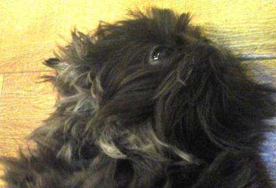 Pups_Shitzu.jpg