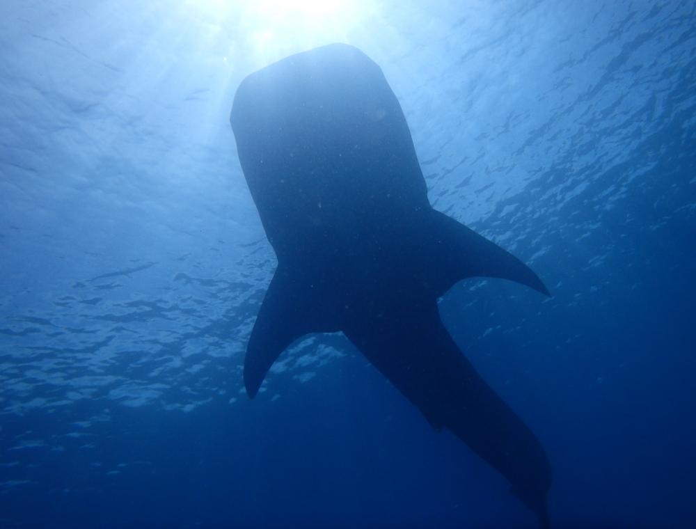 ジンベイザメ ウォッチングツアー&スミロン島上陸【ダイビング選択】 ※ライセンスをお持ちの方のみ